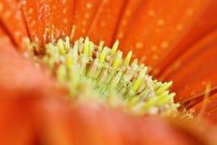 Macro of an Orange Gerber Daisy Stock Image