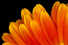 Macro Orange Gerbera Flower Head Stock Image