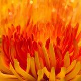 Macro orange-red flower Stock Photos