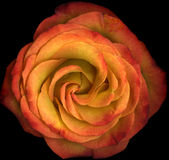 Macro orange rose in bloom. Macro overhead view of orange rose flower in bloom, black background Royalty Free Stock Images