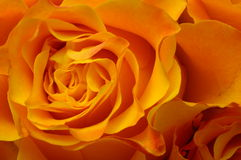 Macro of orange rose Royalty Free Stock Image