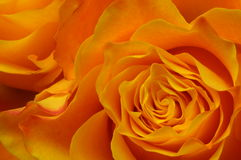 Macro of orange rose Stock Photography