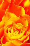 Macro of orange rose. Close up of orange and yellow rose petals for background stock images