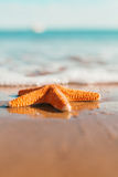 Macro orange starfish on the seashore. Royalty Free Stock Photography