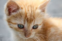 Macro of orange tabby kitten`s head with intricate patterns in its eyes Stock Image