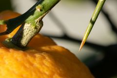 Macro of orange thorn. Macro of an orange still on the tree. Image shows the stem, the texture of the rind, and the point of the thorn. The narrow depth of field stock photography