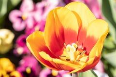 Macro of an orange tulip. In springtime - tulipa stock photos