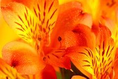 Macro orange and yellow lily of the Incas (Alstroemeria). Close up Stock Photo