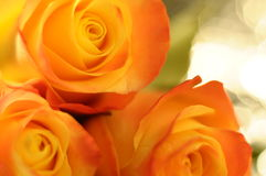 Close up of orange and yellow rose flower Royalty Free Stock Photo