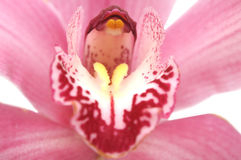 Macro of an orchid Royalty Free Stock Photo
