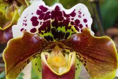 Macro of orchid cultivar Paphiopedilum Complex Stock Image