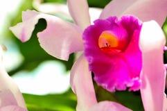 Macro Orchid, Florida Royalty Free Stock Image