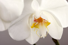 Macro Orchid Flower Blossom. Beautiful White Macro Orchid Flower Blossom Stock Photography