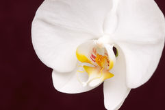 Macro Orchid Flower Blossom. Beautiful White Macro Orchid Flower Blossom on  Rich Burgundy Background Royalty Free Stock Photos