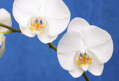Macro Orchid Flower Blossom Stock Photo