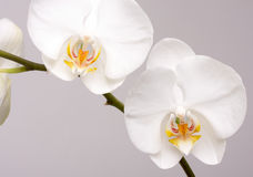 Macro Orchid Flower Blossoms Royalty Free Stock Photography