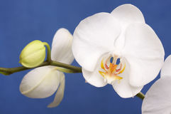 Macro Orchid Flower Blossoms Royalty Free Stock Photo