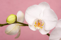 Macro Orchid Flower Blossoms Stock Image