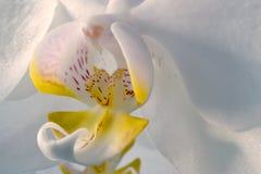 Macro orchidea Immagine Stock Libera da Diritti