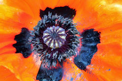Macro of oriental poppy Royalty Free Stock Images