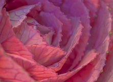 Macro of Ornamental cabbage flower Stock Photography