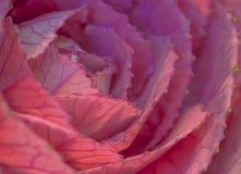 Macro of Ornamental cabbage flower. Pink Ornamental cabbage flower macro Stock Photography