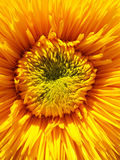 Macro ornamental sunflower center. Royalty Free Stock Photo