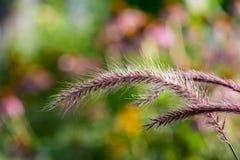 Macro ornemental plumeux d'herbe des pampas photo libre de droits