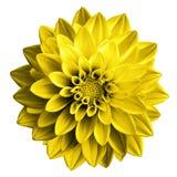 Macro oscura surrealista de la dalia de la flor del amarillo de cromo Imagen de archivo libre de regalías