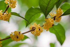 Macro osmanthus. Osmanthus, also known as `Laurel`, `Melilotus`, evergreen shrubs or small trees; leaves opposite, mostly oval or long oval, smooth foliage Royalty Free Stock Image