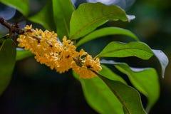 Macro osmanthus Stock Photo