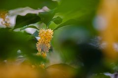 Macro osmanthus. Osmanthus, also known as `Laurel`, `Melilotus`, evergreen shrubs or small trees; leaves opposite, mostly oval or long oval, smooth foliage Royalty Free Stock Photography