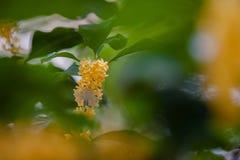 Macro osmanthus Royalty Free Stock Photography