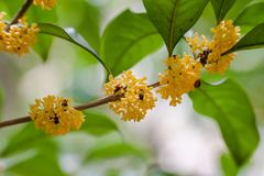 Macro osmanthus. Osmanthus, also known as `Laurel`, `Melilotus`, evergreen shrubs or small trees; leaves opposite, mostly oval or long oval, smooth foliage Stock Photo