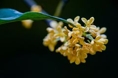 Macro osmanthus. Osmanthus, also known as `Laurel`, `Melilotus`, evergreen shrubs or small trees; leaves opposite, mostly oval or long oval, smooth foliage Royalty Free Stock Images