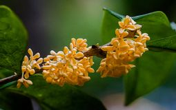 Macro osmanthus. Osmanthus, also known as `Laurel`, `Melilotus`, evergreen shrubs or small trees; leaves opposite, mostly oval or long oval, smooth foliage Royalty Free Stock Photos