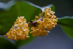 Macro osmanthus. Osmanthus, also known as `Laurel`, `Melilotus`, evergreen shrubs or small trees; leaves opposite, mostly oval or long oval, smooth foliage Stock Image