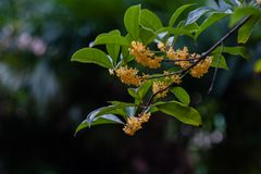 Macro osmanthus. Osmanthus, also known as `Laurel`, `Melilotus`, evergreen shrubs or small trees; leaves opposite, mostly oval or long oval, smooth foliage Royalty Free Stock Photo