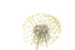 Macro of an overblown fluffy dandelion. Royalty Free Stock Photos