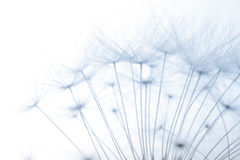 Macro of an overblown fluffy dandelion. Stock Image