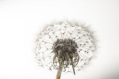 Macro of an overblown fluffy dandelion. Royalty Free Stock Image
