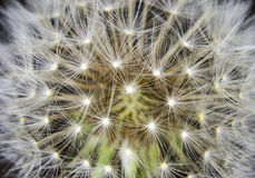 Macro of an overblown fluffy dandelion. Royalty Free Stock Photography