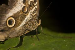 Macro of Owl butterfly Royalty Free Stock Photo