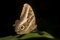 Macro of Owl butterfly Royalty Free Stock Photos
