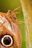 Macro of Owl butterfly holding on to tree Royalty Free Stock Photography