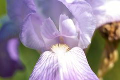 Macro pétales violets de fleur Images stock