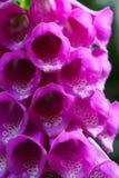 Macro púrpura de la dedalera Fotografía de archivo libre de regalías