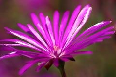 Macro púrpura de la flor Imágenes de archivo libres de regalías