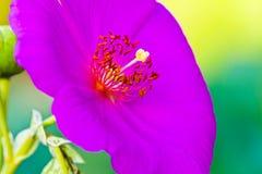 Macro púrpura de la flor imagenes de archivo