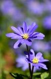 Macro púrpura de la margarita de la primavera Imagenes de archivo
